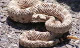 Tips for dealing with a Rattlesnake Bite: Quick Tips to Save a Life